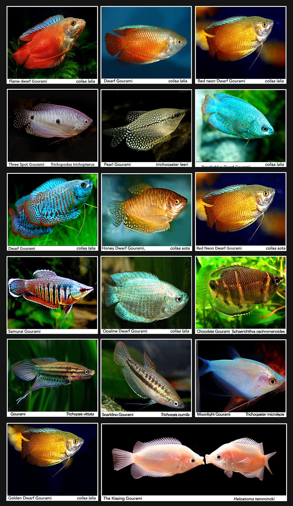 tropical freshwater aquarium fish guide