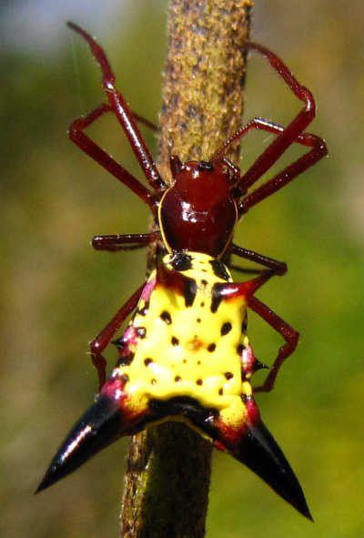 field guide to australian spiders