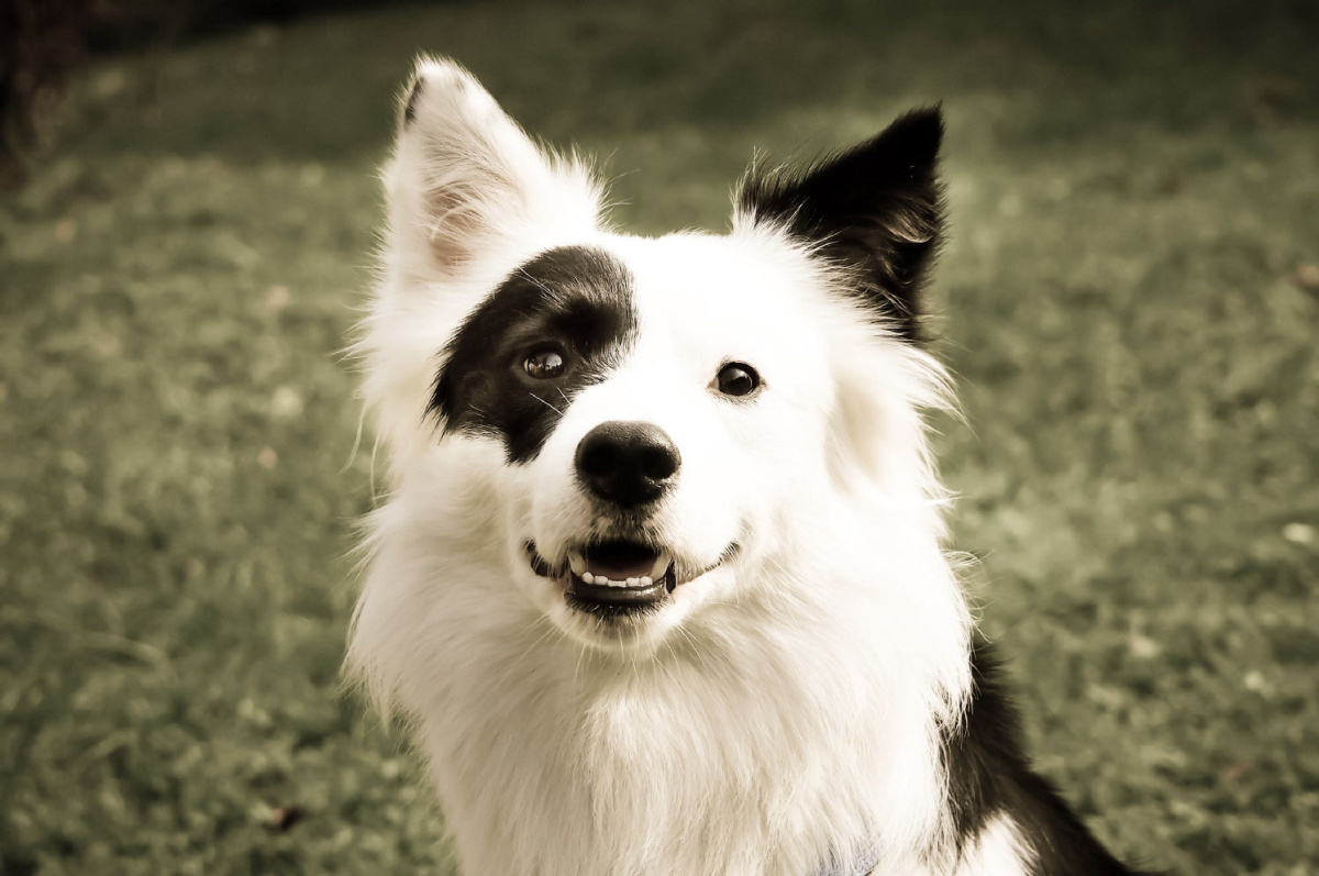 border collie owners guide pdf