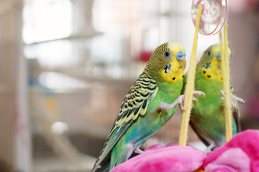budgies a guide to caring for your parakeet