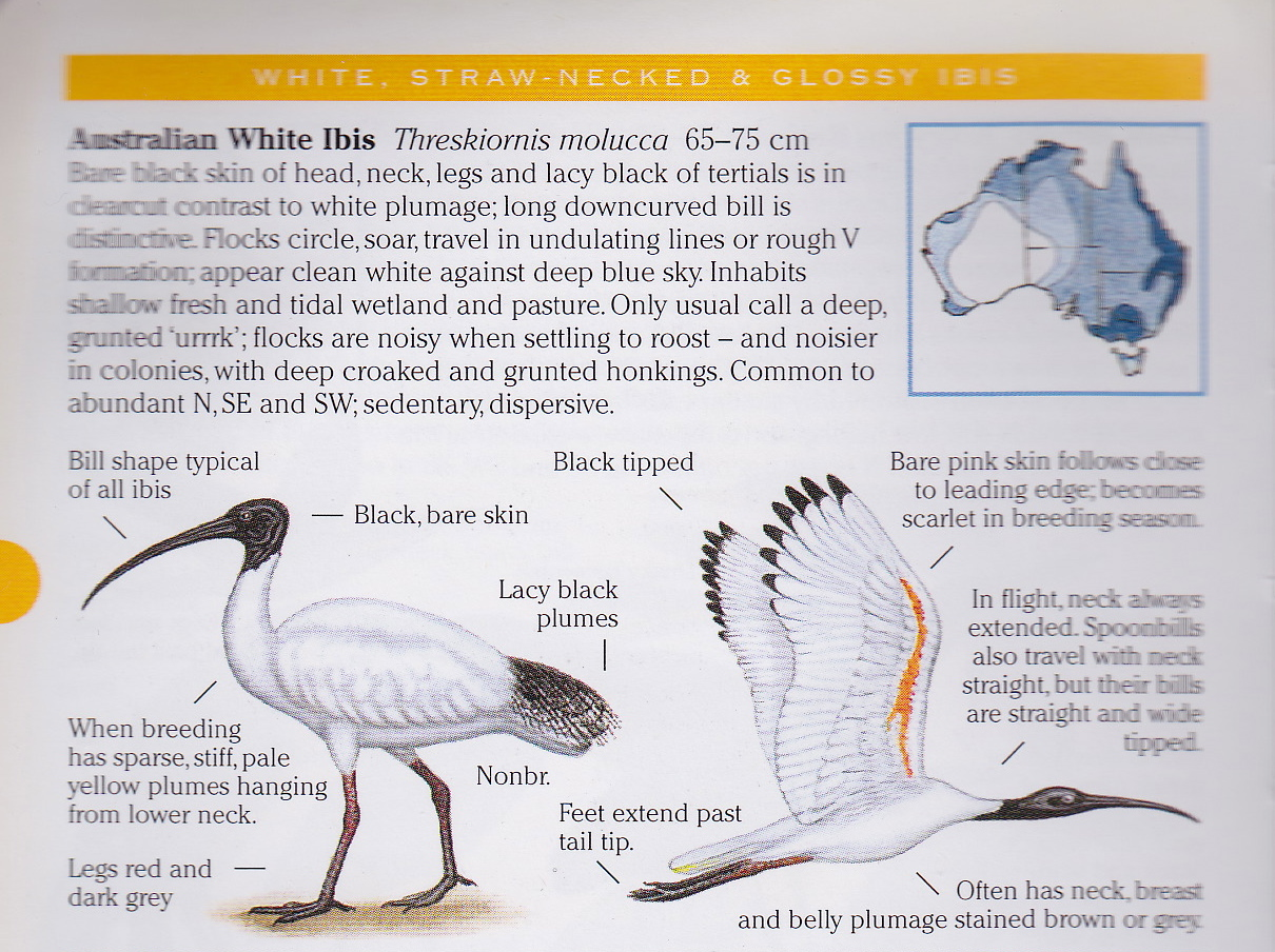 field guide to australian birds morcombe