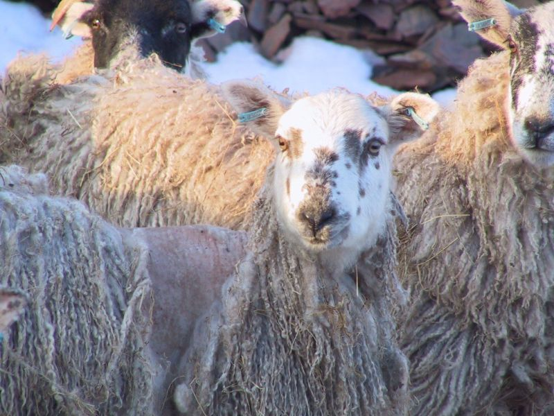 sheep diseases the farmers guide